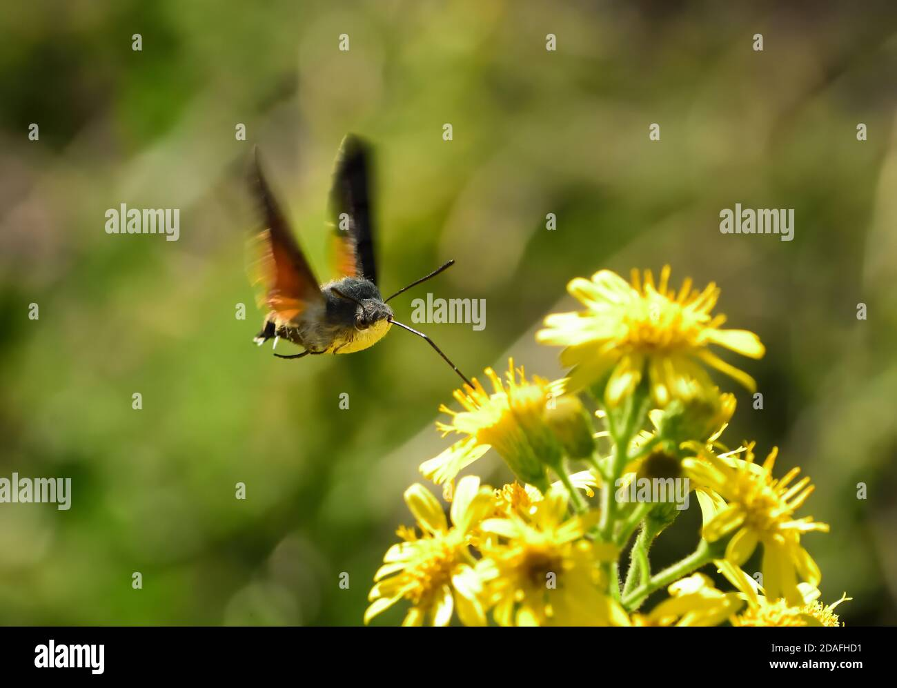 Isolated specimen of hawk-moth hummingbird (Macroglossum stellatarum). It flies fast from flower to flower and is also called the Sphinx Hummingbird. Stock Photo