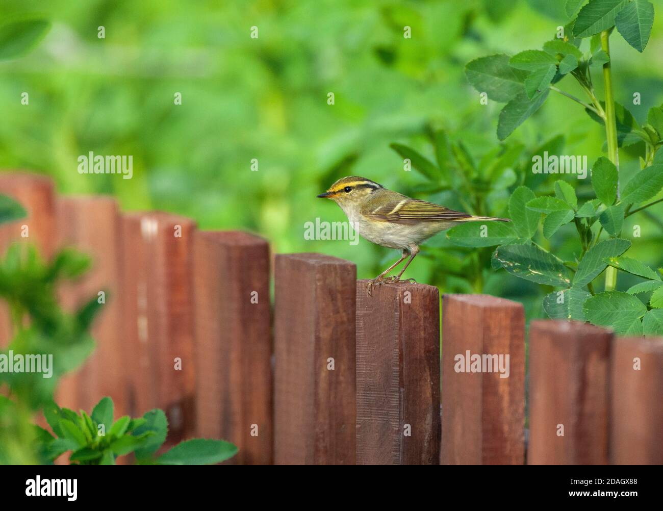 Pallas' leaf warbler (Phylloscopus proregulus), sitting on a wooden fence of a garden, China, Hebei Stock Photo