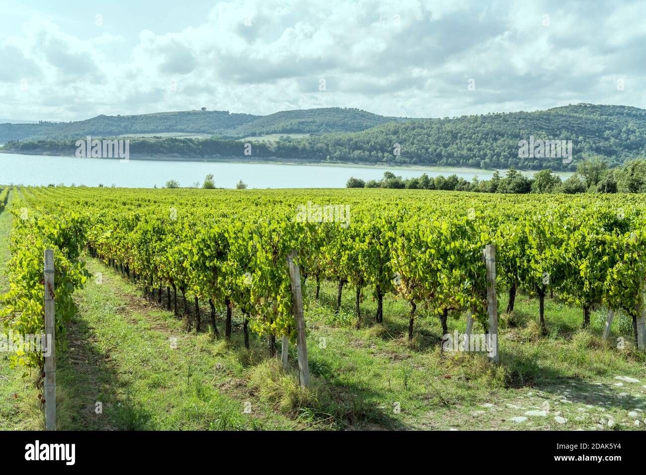 rows of vines in a green rustic landscape near shore, shot in bright light at Corbara lake, Umbria, Italy Stock Photo