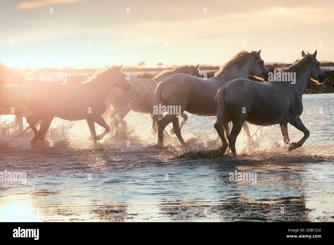 Wild Horses Running Sunset High Resolution Stock Photography And Images Alamy