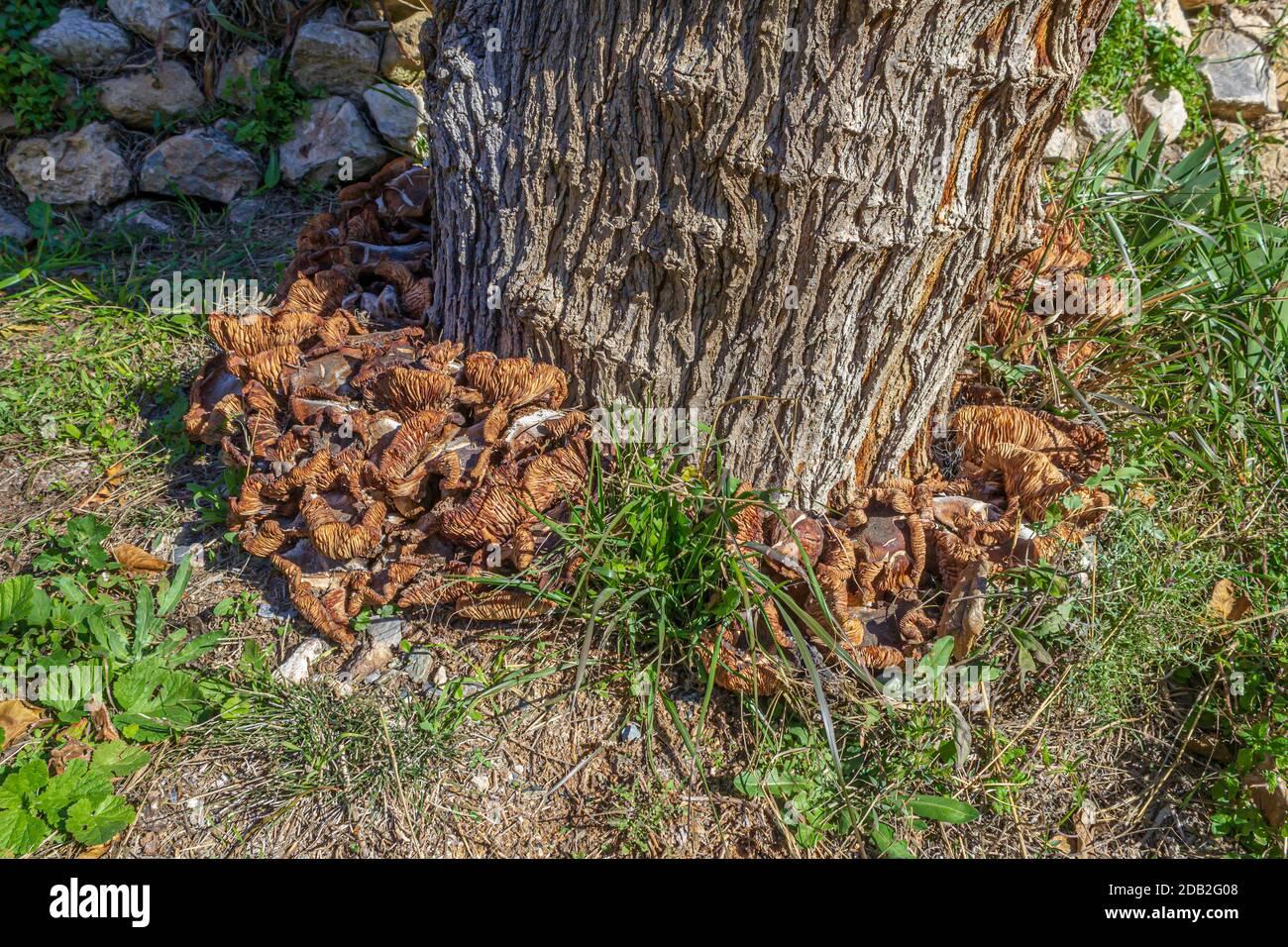 Armillaria mellea growing around a tree Stock Photo