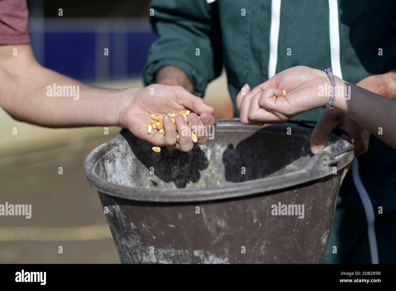 Closeup of hands grabing corn to feed cattle Stock Photo