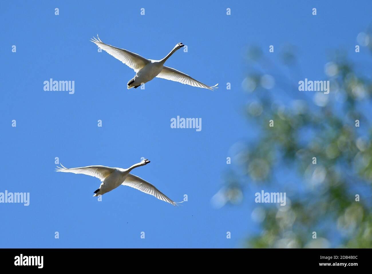 Zwei weiße Schwäne fliegen über der Stadt Steyr (Oberösterreich) - Two white swans fly over the city of Steyr (Upper Austria) Stock Photo