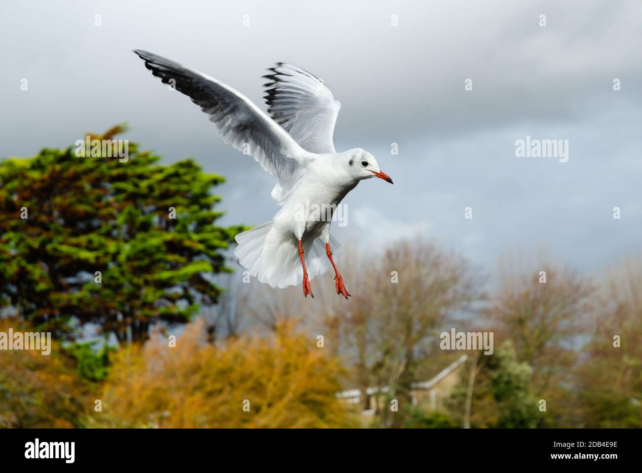 Black headed gull (Chroicocephalus ridibundus) with wings up flying in Winter in the UK. Seagull in flight. Stock Photo