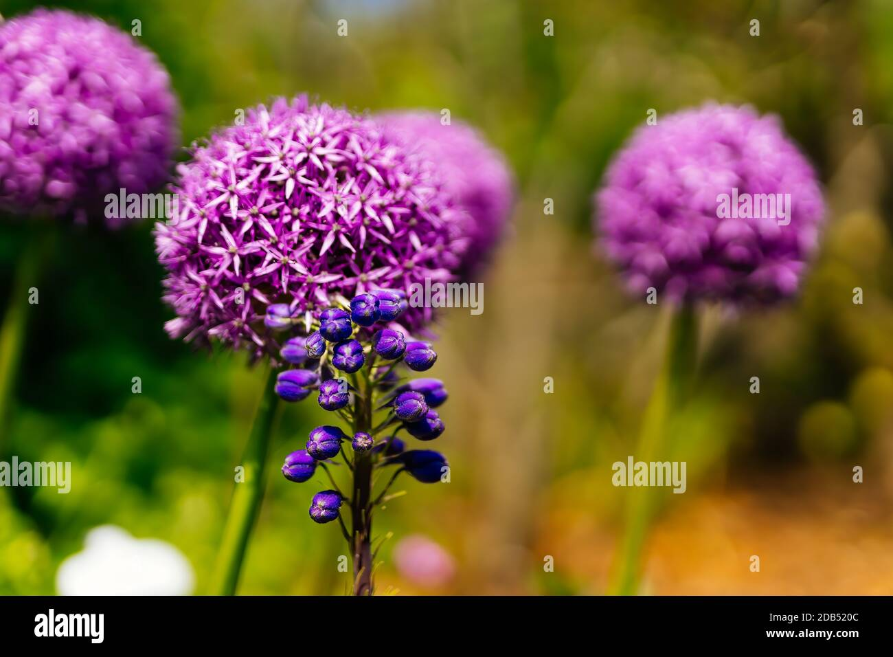 Selective focus on beautiful, blooming Allium Vienale and Grape Hyacinth, Muscari Latifolium, flowers on colourful blurred background, springtime Stock Photo