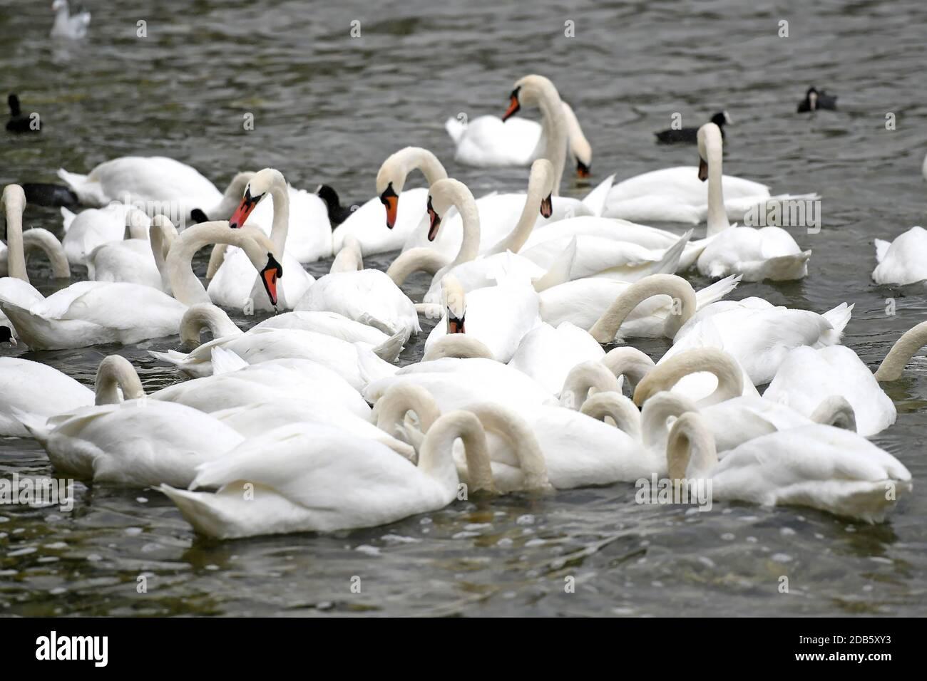 Schwäne am Attersee (Bez. Vöcklabruck, Salzkammergut, Oberösterreich, Österreich) - Swans on Lake Attersee (Vöcklabruck district, Salzkammergut, Upper Stock Photo