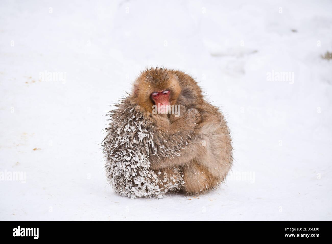 two brown cute baby snow monkeys hugging and sheltering each other from the cold snow with ice in their fur in winter. Wild animals showing love Stock Photo