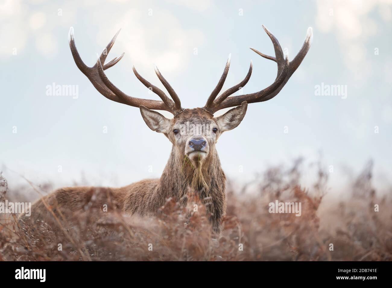 Close-up of a red deer stag standing in the field of ferns during rutting season on a misty autumn morning, UK. Stock Photo
