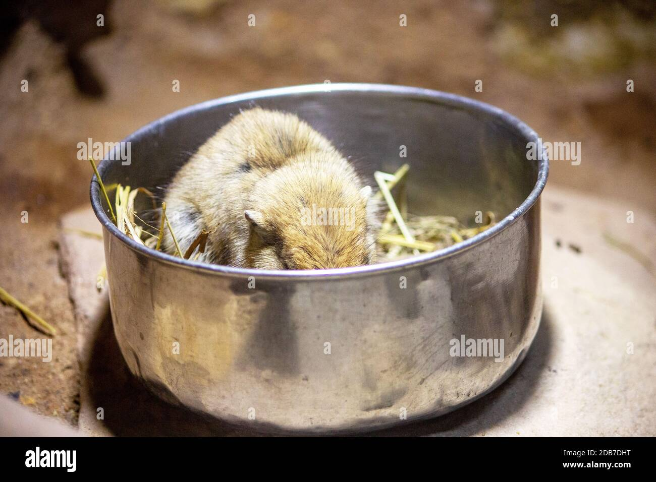 Picture of a fat sand rat while eating in its free bowl, Psammomys obesus Stock Photo