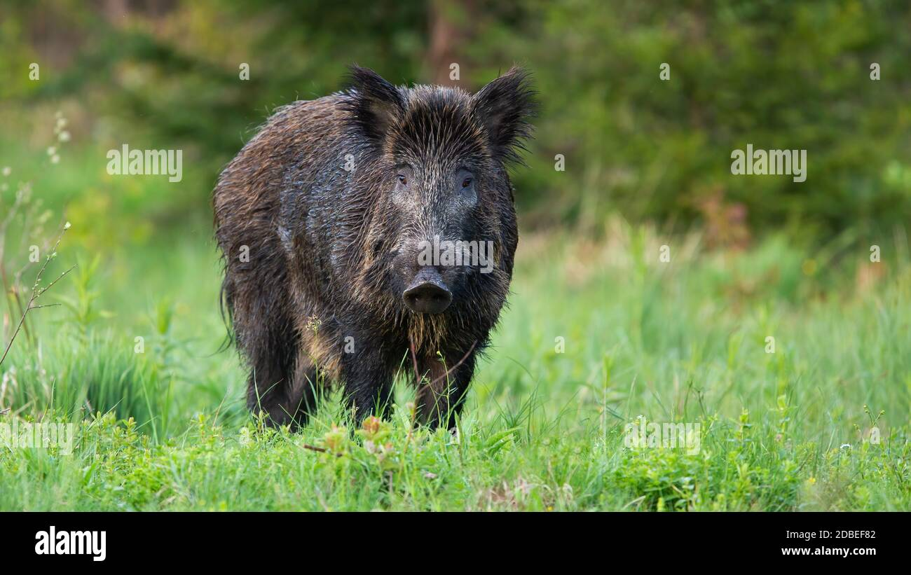 Boar P High Resolution Stock Photography and Images   Alamy