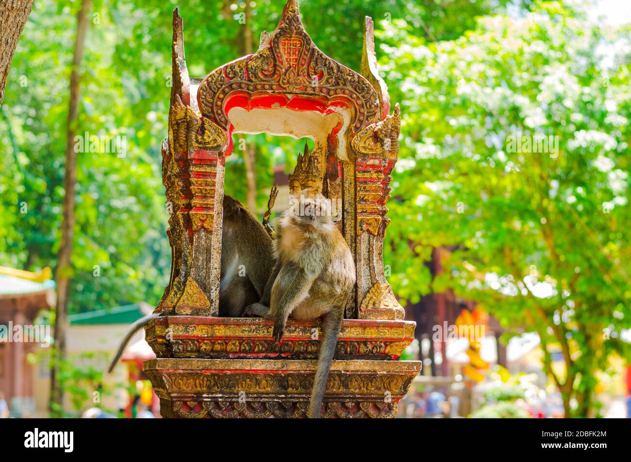 Grey capucin monkey, domesticated, living around the Tiger Cave temple in Krabi, Thailand Stock Photo