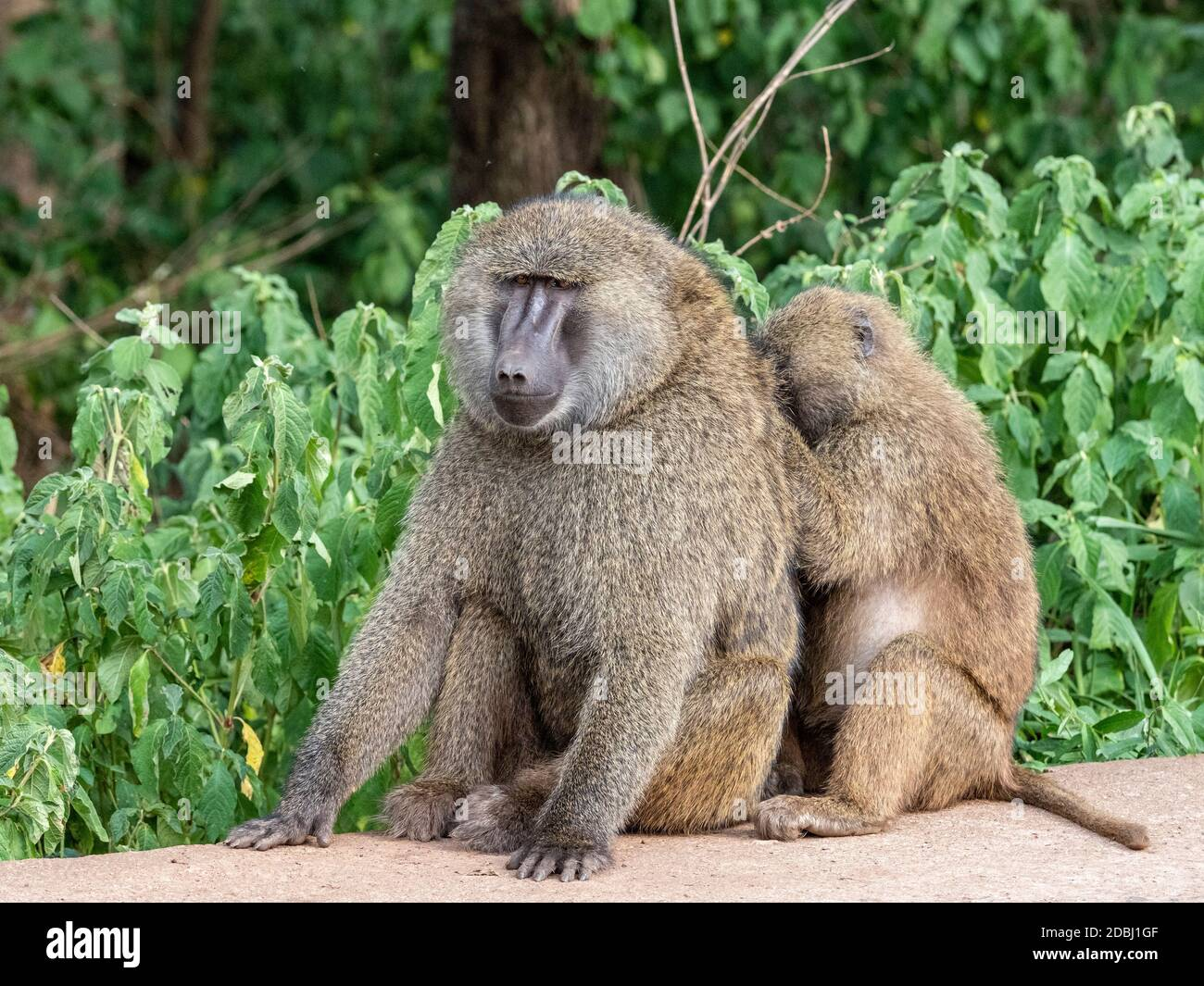 Olive baboons (Papio anubis) grooming each other in Ngorongoro Conservation Area, Tanzania, East Africa, Africa Stock Photo