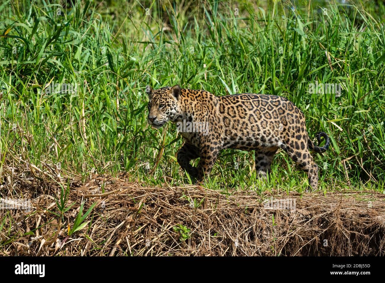 Jaguar (Panthera onca), Pantanal, Mato Grosso, Brazil, South America Stock Photo