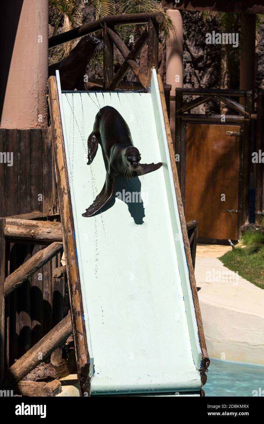 LA LAJITA, FUERTEVENTURA, SPAIN - SEPTEMBER 11, 2015:  Shows sea lions in the pool,, Oasis Park, Fuerteventura, Canary Island, Spain Stock Photo