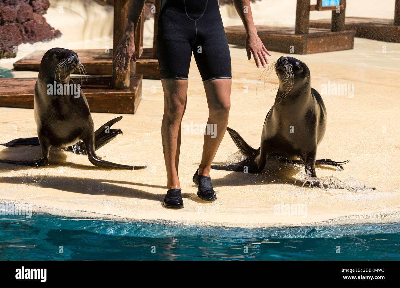 Shows sea lions in the pool,, Oasis Park, Fuerteventura, Canary Island, Spain Stock Photo