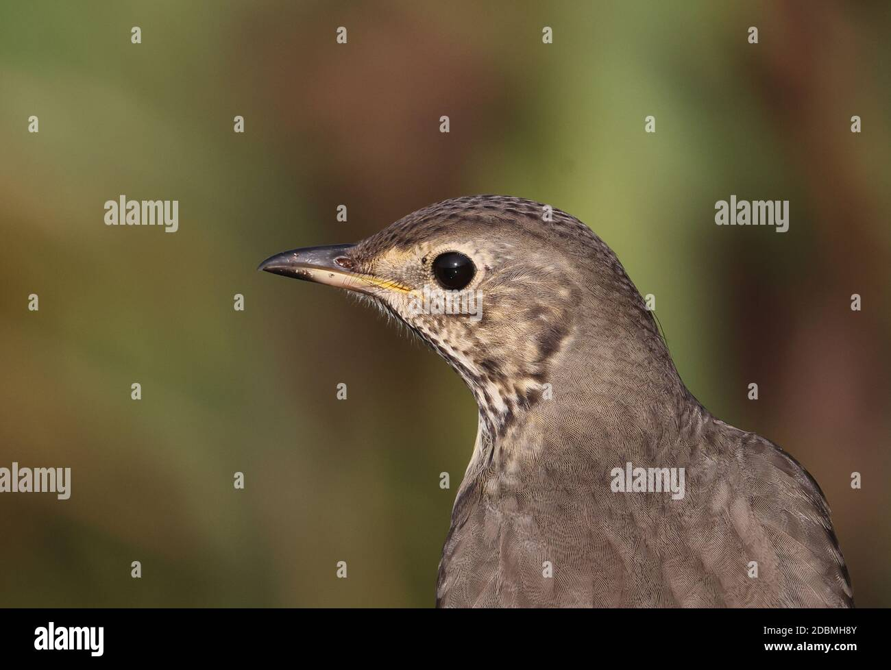 Song Thrush (Turdus philomelos) close-up of adult, with small tick near eye  Eccles-on-Sea, Norfolk, UK     November Stock Photo