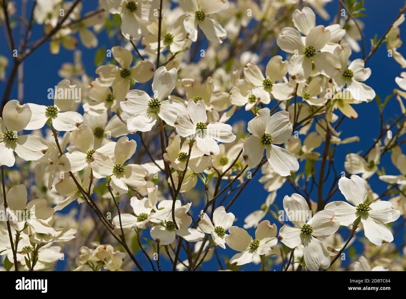 Flowering Dogwood (Cornus florida). Called American Dogwood and Eastern Dogwood also. Symbol of North Carolina, West Virginia, Missouri and Virginia Stock Photo