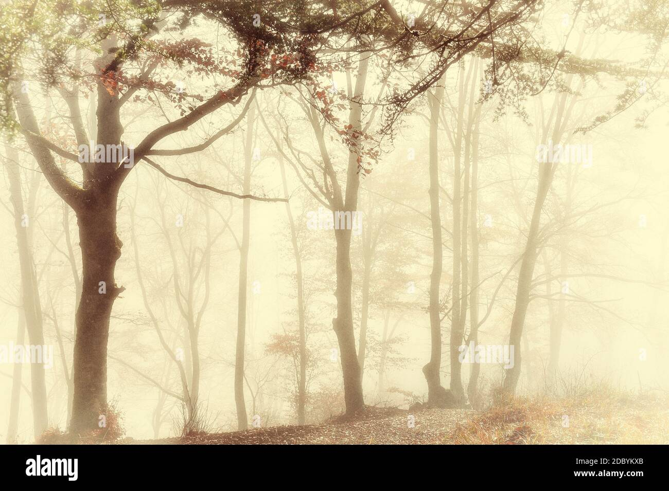 the morning mist in a group of beech trees in the mountains  and the light through the trees and the fog creates a magical atmosphere with vintage and Stock Photo
