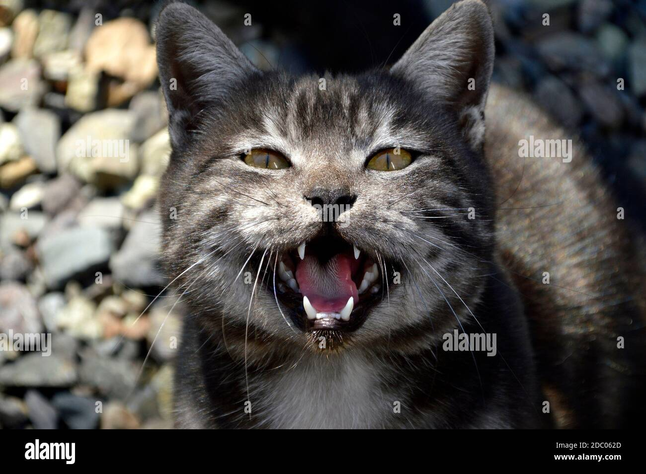 Portrait of 1 year old black cat with gray stripes meowing and asking food Stock Photo