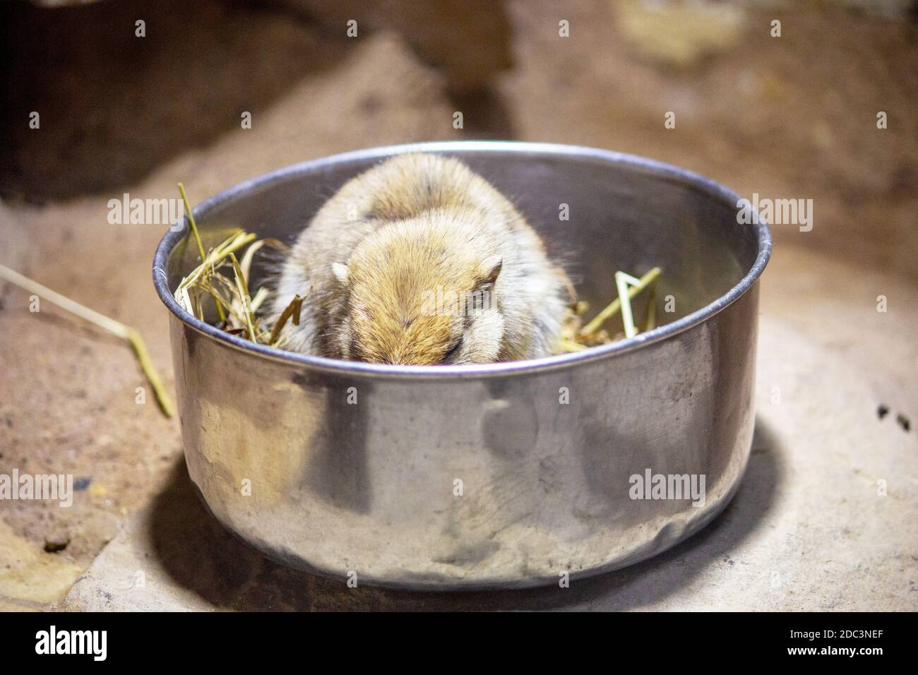 View of a fat sand rat while eating in its free bowl, Psammomys obesus Stock Photo