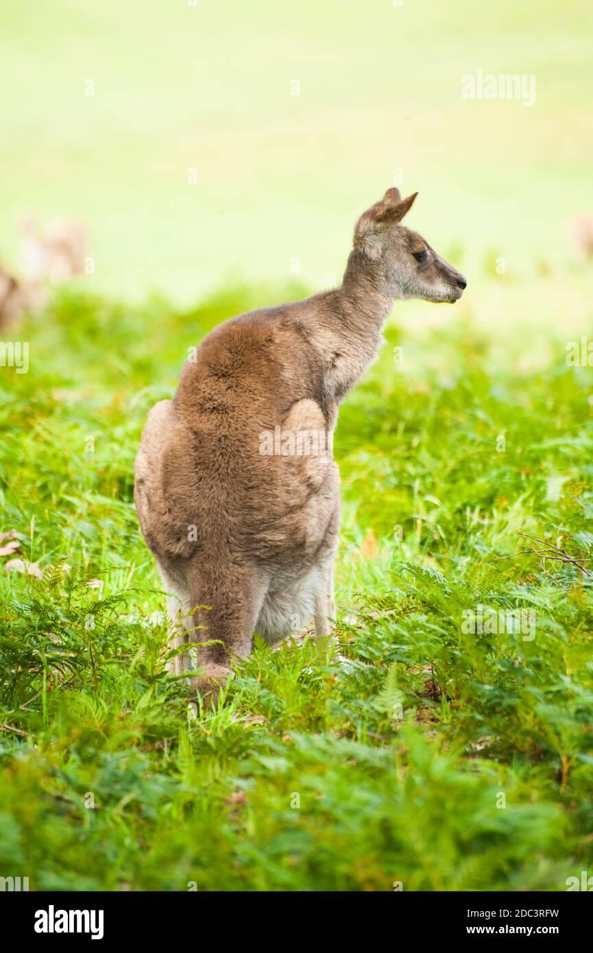 Wild Australian kangaroo (eastern gray kangaroo - Macropus giganteus) Stock Photo