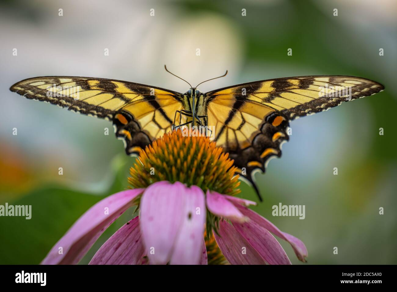 The Eastern Tiger Swallowtail (Papilio glaucus), North Carolina's state butterfly. Front view, on a coneflower. Stock Photo