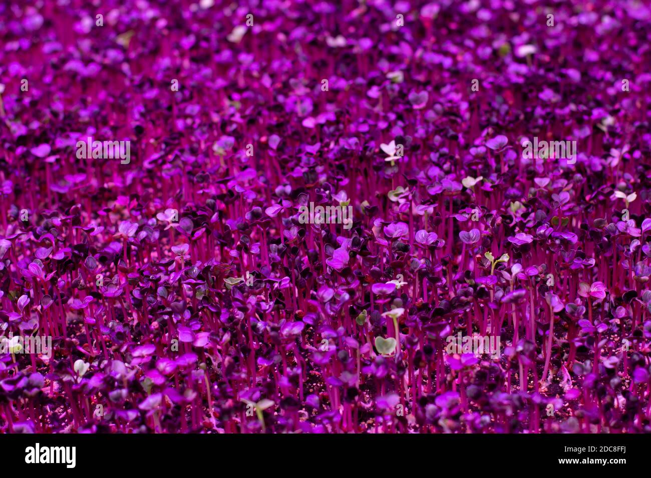 Sprouts of germinated plant seeds under the light of a purple phytolamp, ice lighting for indoor plants. Purple pink background Stock Photo