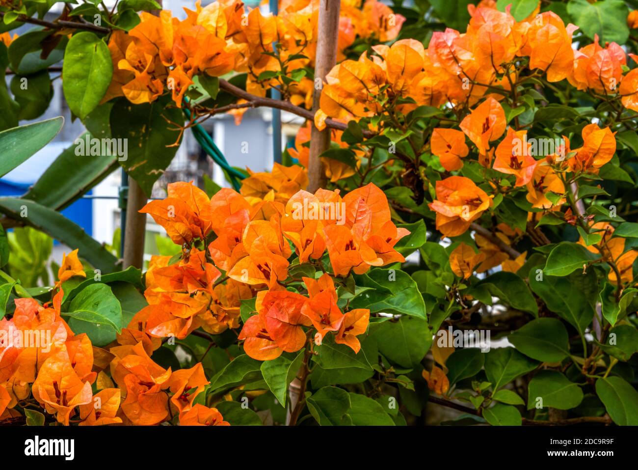 Multi-colored Bougainvillea flowers, colorful flowers Stock Photo