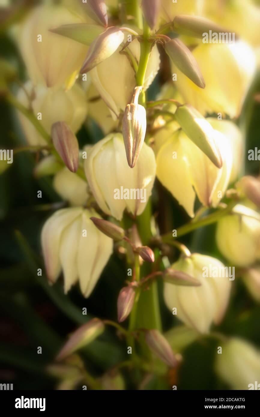 Yucca Gloriosa, close-up natural floral portrait Stock Photo