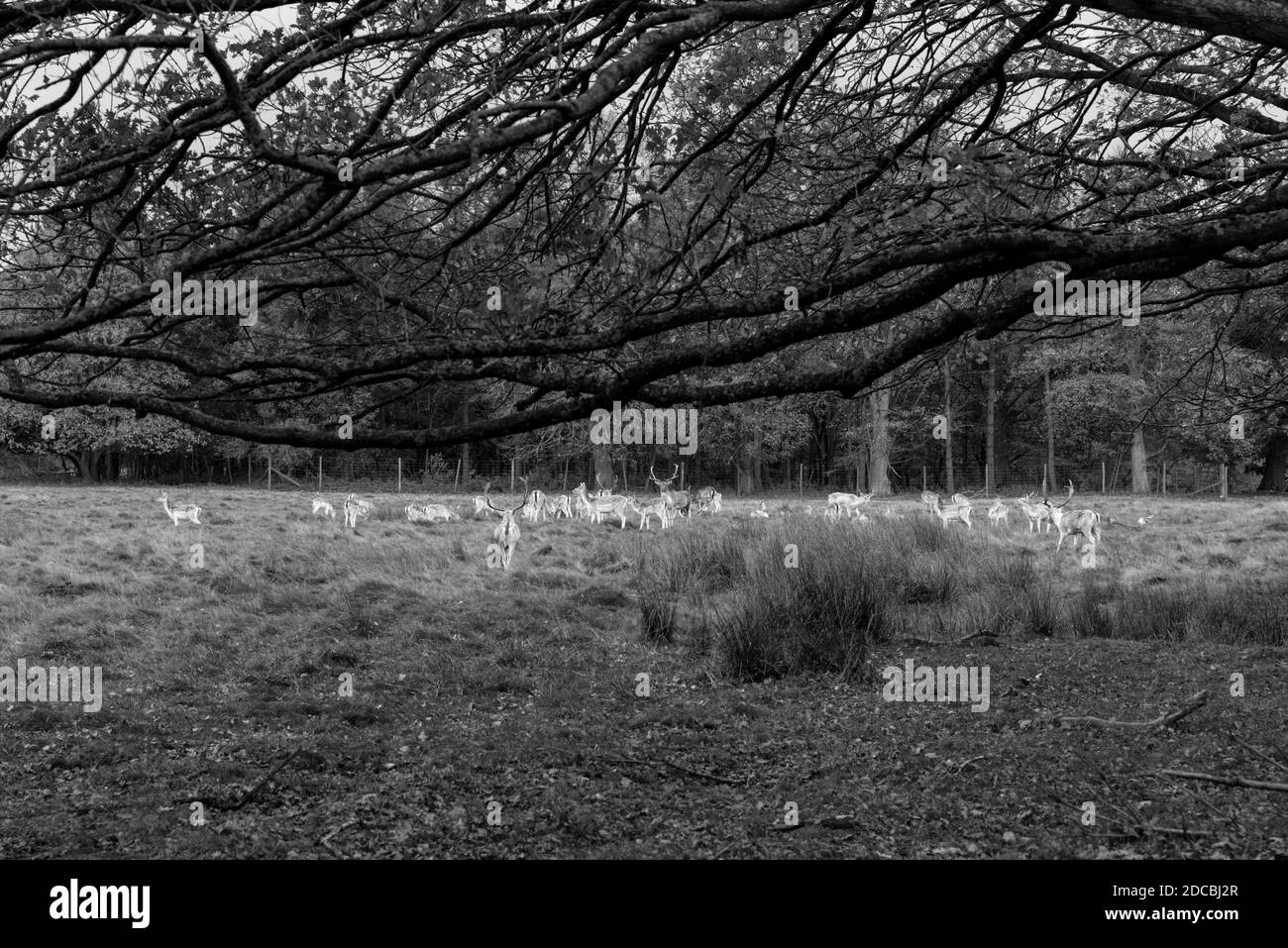 Black and white image of reindeer grazing in woods in wintertime, with a large tree framing the image. Stock Photo