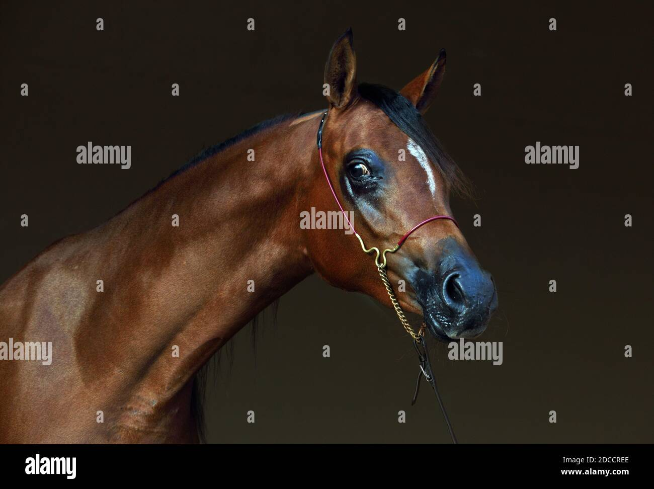 Page 2 Arabian Bridle High Resolution Stock Photography And Images Alamy