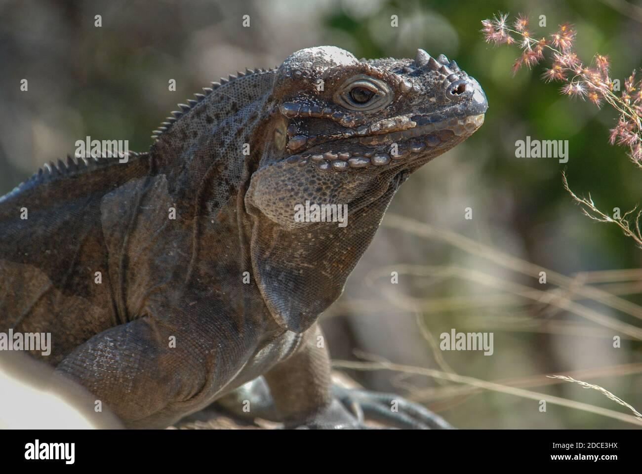 A rhinoceros iguana (Cyclura cornuta) a threatened rock iguana species endemic to Hispaniola. Stock Photo