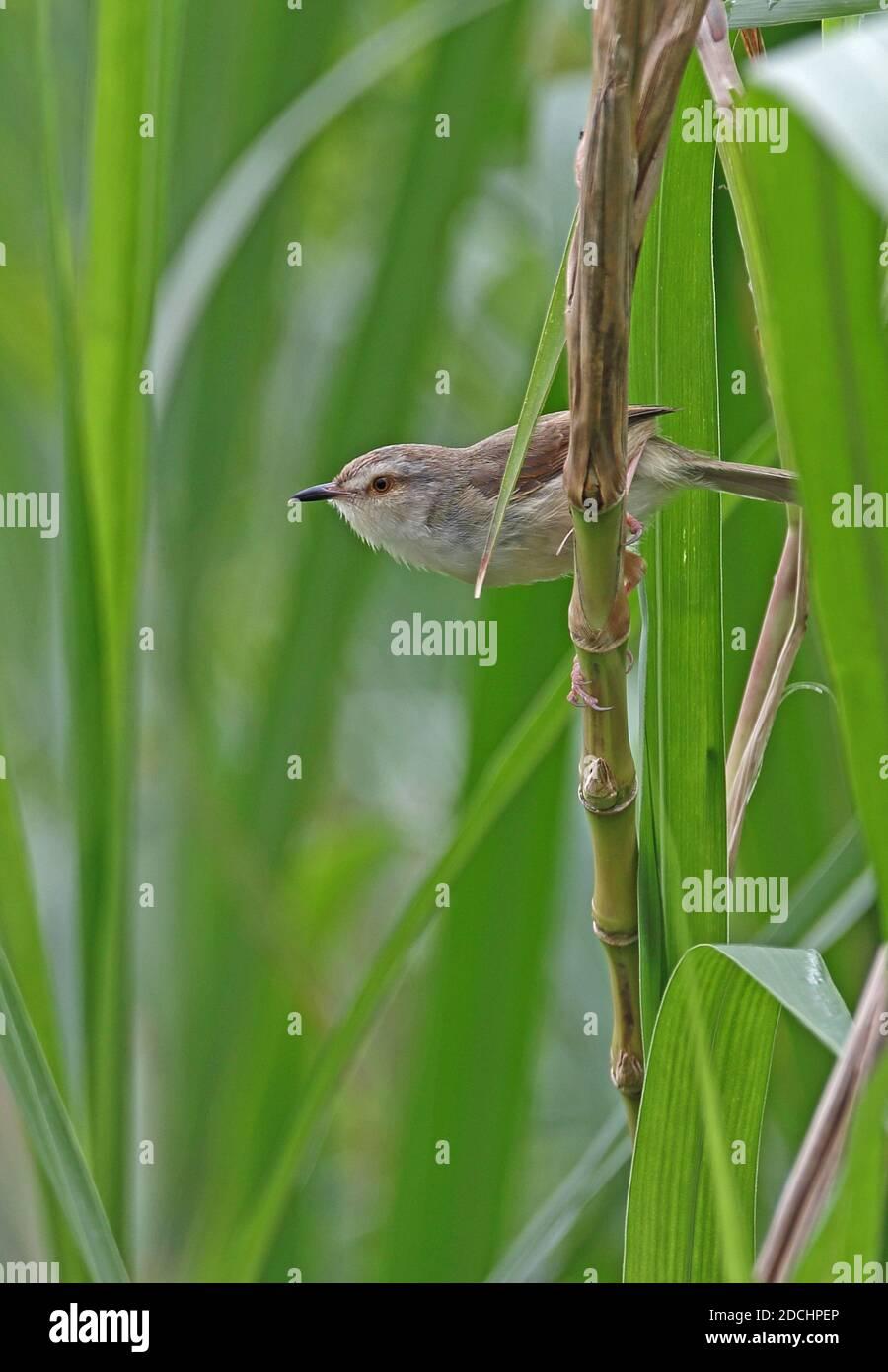 Plain Prinia (Prinia inornata flavirostris) adult perched on stem (endemic sub-species)  Taiwan              April Stock Photo