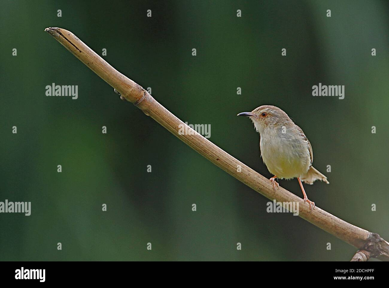 Plain Prinia (Prinia inornata flavirostris) adult perched on stem (endemic sub-species)  Taiwan              April Stock Photo
