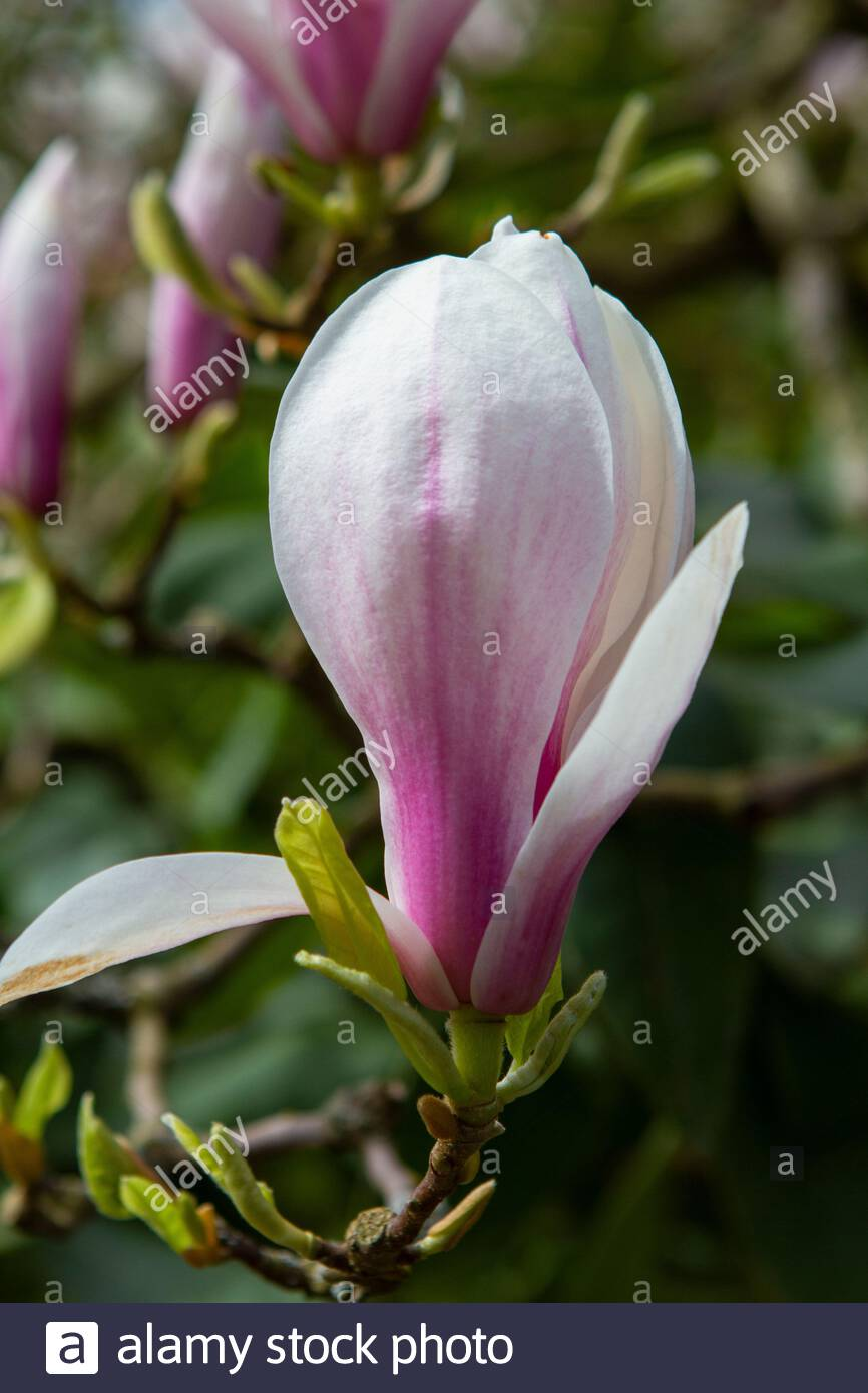 Saucer Magnolia Tree High Resolution Stock Photography And Images Alamy