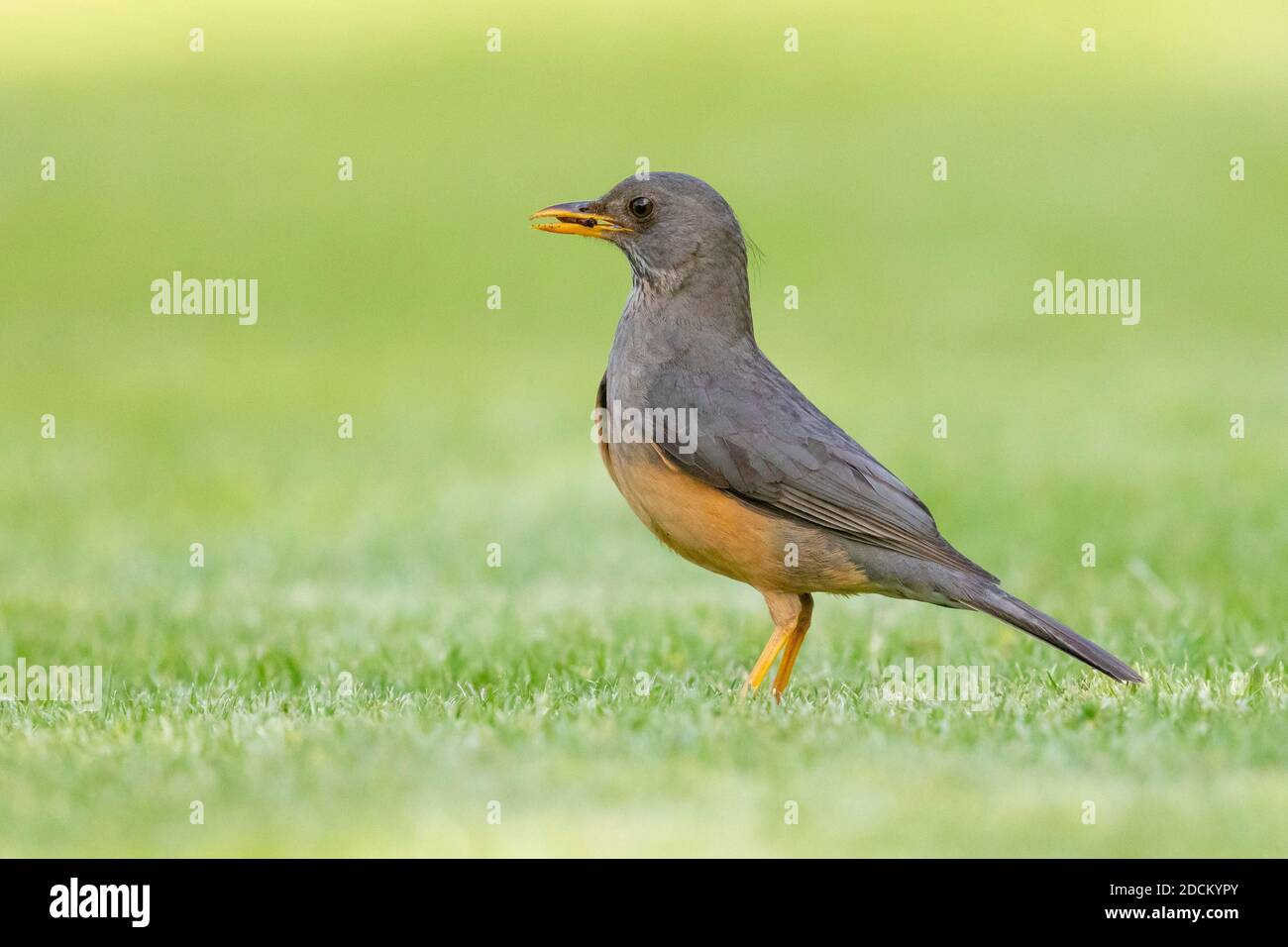 Olive Thrush (Turdus olivaceus), side view of an adult standing on the ground, Western Cape, South Africa Stock Photo