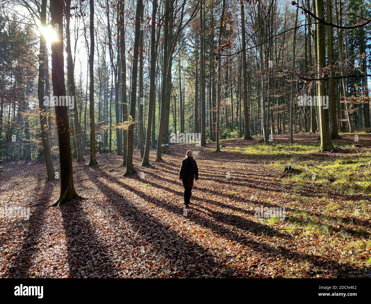 """A woman is walking through the forest in autumn, forest bathing, or shinrin-yoku  on November 22, 2020 in Pfaffenhofen a.d.Ilm, Bavaria, Germany. Forest bath – has the power to counter illnesses including cancer, strokes, gastric ulcers, depression. The term emerged in Japan in the 1980s as a physiological and psychological exercise called shinrin-yoku (""""forest bathing"""" or """"taking in the forest). © Peter Schatz / Alamy Stock Photos  MODEL RELEASED Stock Photo"""