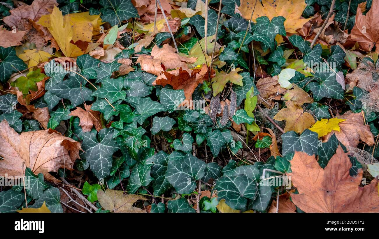 Autumn leaves on evergreen Common Ivy (lat.: Hedera helix) vines. Stock Photo