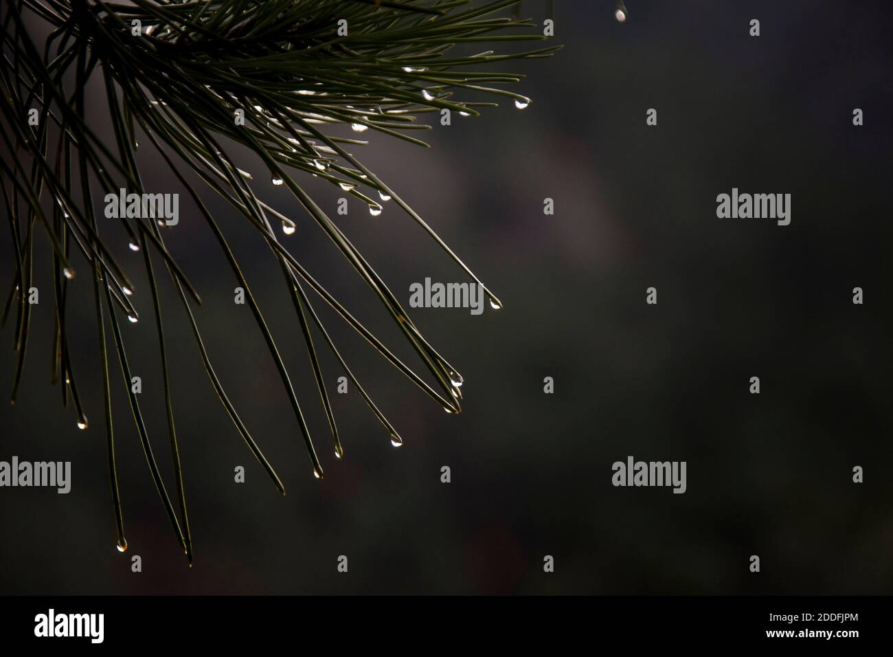 Evergreen tree close up on needle leaves details with water drops Stock Photo