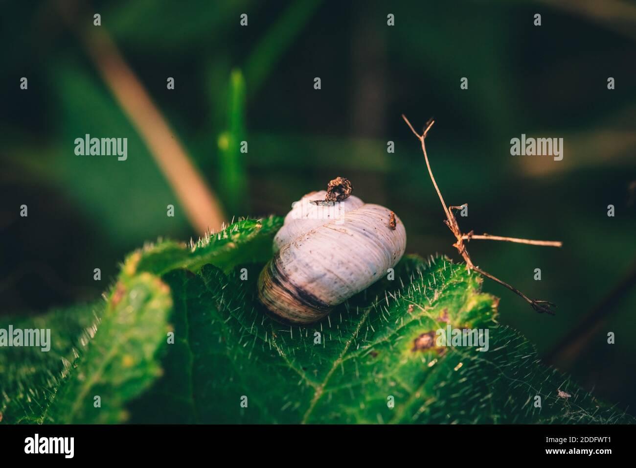 A macro image of a shrub snail or Genus Praticolella on a leaf close up Stock Photo
