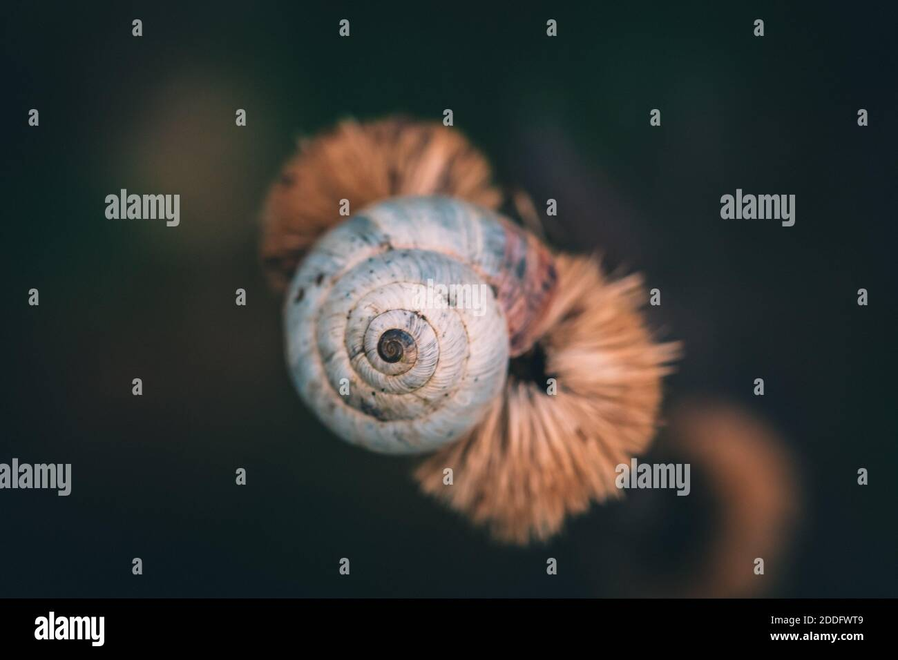 a macro image of a shrub snail or Genus Praticolella on a seed pod close up Stock Photo