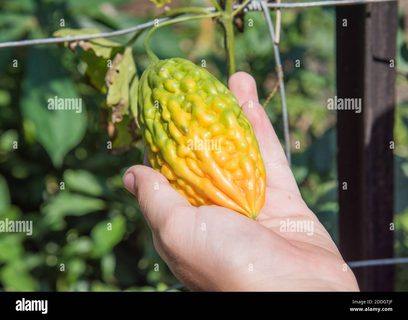 Close Up Of Bumpy Yellow And Green Squash Hanging On Garden Vine In Darwin Australia Stock Photo Alamy
