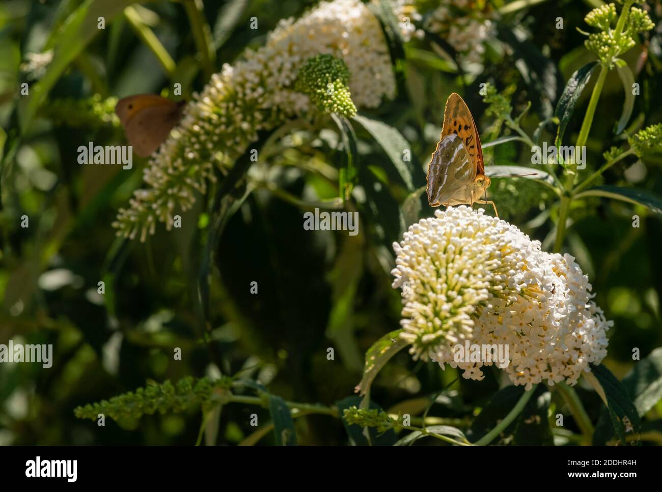 outdoor summer macro portrait of a single Quail Wheat Fritillary butterfly sitting on a white lilac blossom, sunny day,blurred natural background Stock Photo
