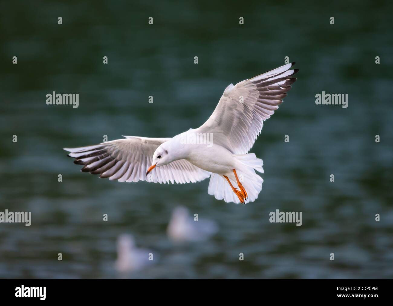 Black headed gull (Chroicocephalus ridibundus) with wings stretched out flying low over water in Autumn in the UK. Seagull in flight. Stock Photo