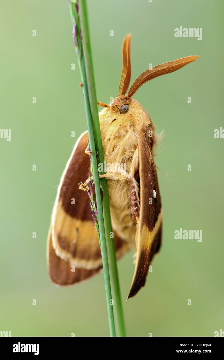 lemoniid moths (Lemoniidae), sits on a blade of grass, Germany, Lower Saxony, Goldenstedter Moor Stock Photo