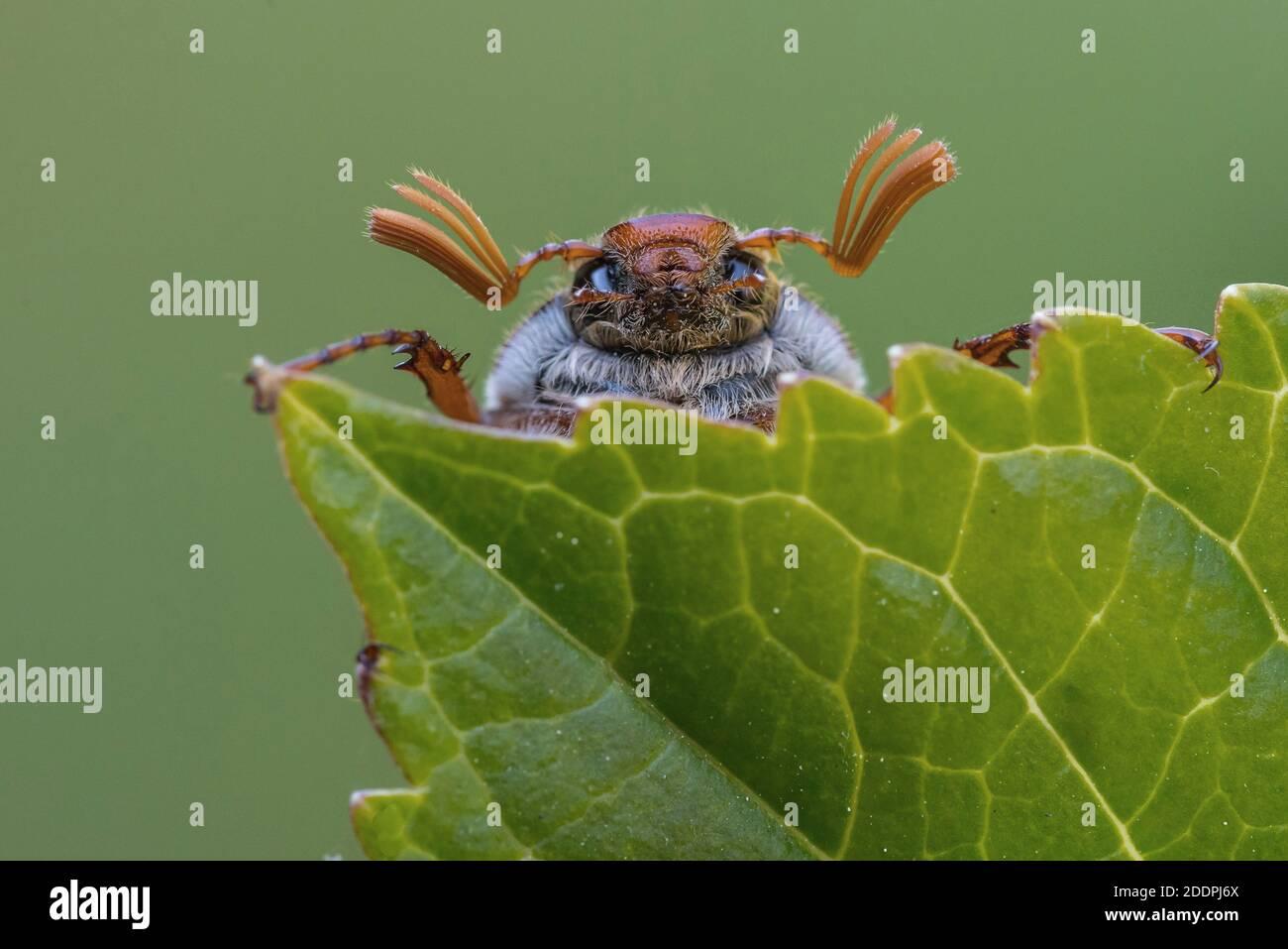 Common cockchafer, Maybug, Maybeetle (Melolontha melolontha), portrait on a leaf, Germany, Lower Saxony Stock Photo