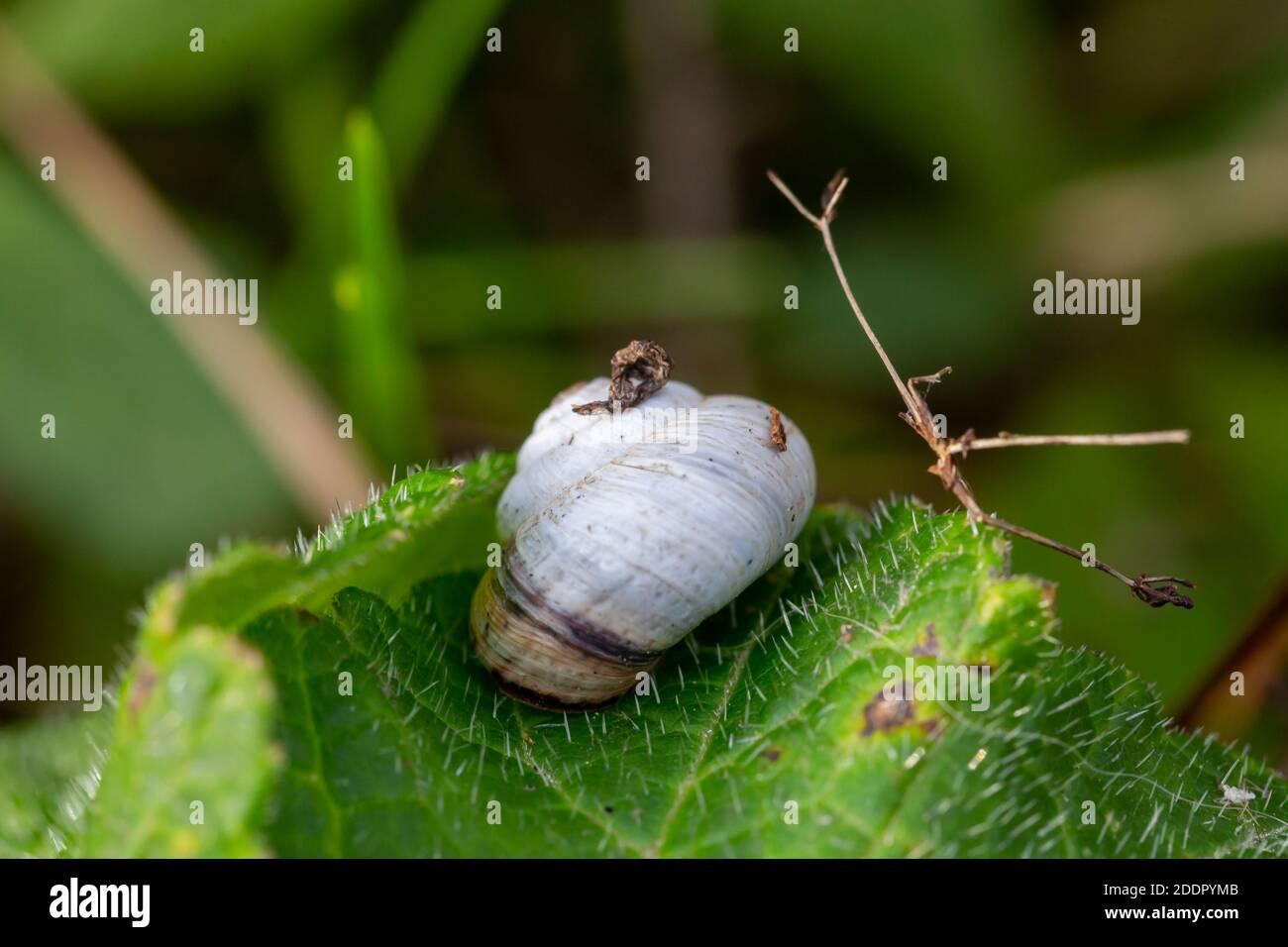 A macro image of a scrub snail or Genus Praticolella on a leaf close up Stock Photo