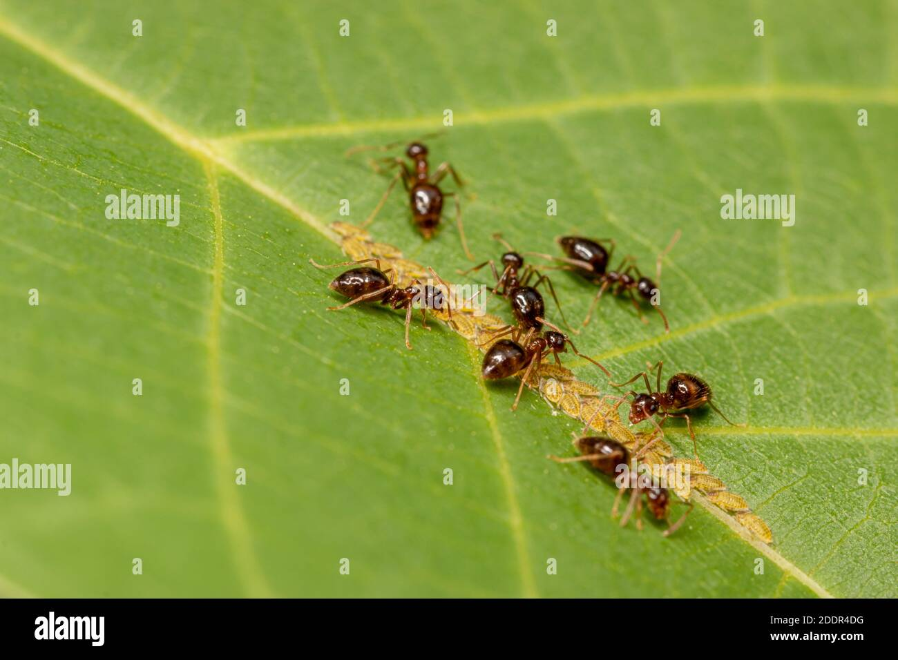 Brown Ants Eating Aphids, Larvae on a Green Leaf on a Tree. Stock Photo