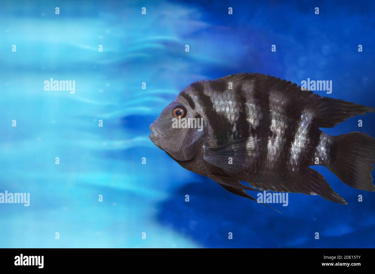 Fish With Black Stripes High Resolution Stock Photography And Images Alamy