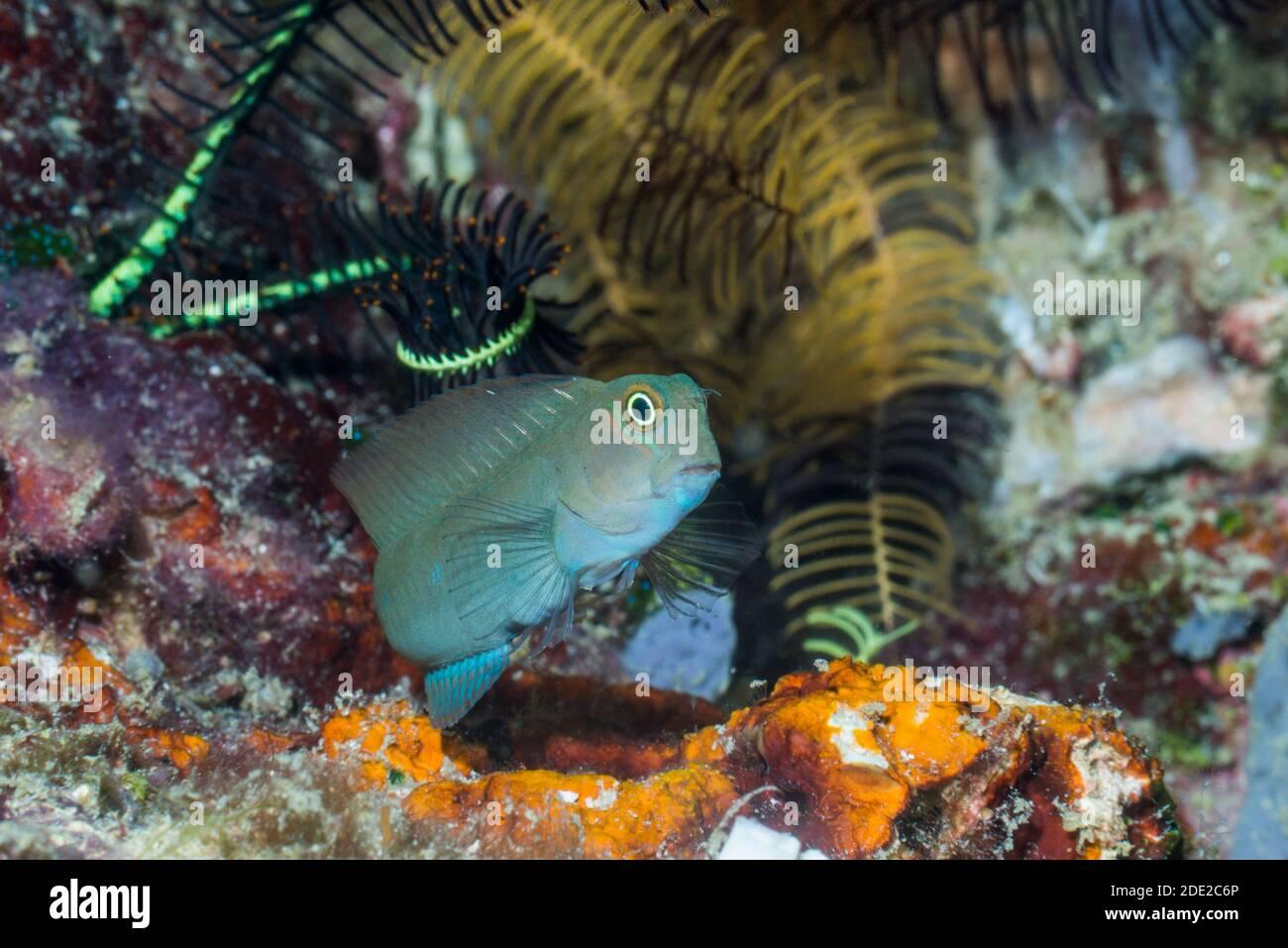Bicolor Blenny [Ecsenius bicolor].  West Papua, Indonesia.  Indo-West Pacific. Stock Photo
